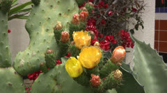 Prickly Pear Cactus with Fruit Stock Footage