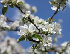 apple flower at spring - stock photo