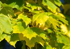 yellow maple leafs on tree - stock photo