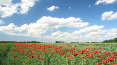 Poppy flowers, landscape Stock Footage