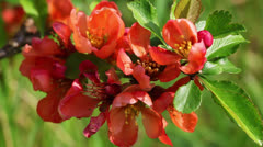 Japanese flowering quince Stock Footage