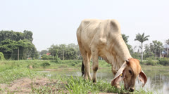 Cow on field in Thailand up-country Stock Footage