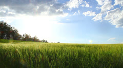 Barley and clouds on summer day Stock Footage