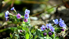 Beautiful spring flowers-lungwort Stock Footage