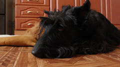 brooding Scottish terrier - stock footage