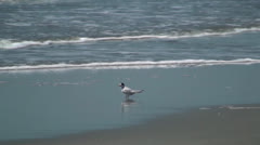 Female Least Tern Waiting On The Beach For The Male To Return Stock Footage