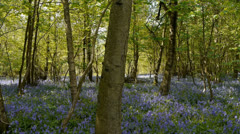 Bluebell Flowers, Hyacinthoides non-scripta - Camera Move Stock Footage