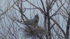 P02762 Great Blue Herons at Nest Stock Footage