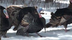 P02780 Turkey Gobblers Gobbling and Strutting Stock Footage