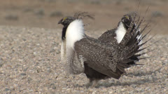P02787 Sage Grouse Males Courtship Display Stock Footage