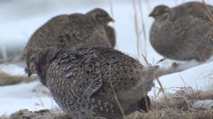 P02770  Male Sharp-tailed Grouse on Lek Stock Footage
