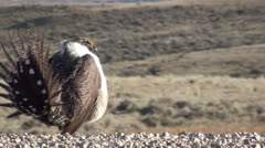 P02792 Sage Grouse Displaying in Wyoming Stock Footage