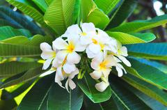 Plumeria with green leaf in morning Stock Photos