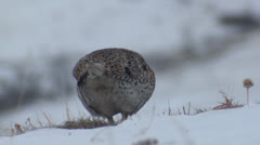 P02769 Sharp-tailed Grouse Feeding in Winter Stock Footage