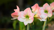 Stock Video Footage of Hippeastrum
