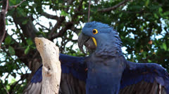Hyacinth Macaw - stock footage