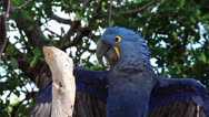 Stock Video Footage of Hyacinth Macaw