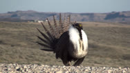 P02791 Sage Grouse Display on Dancing Grounds in Spring Stock Footage