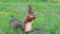 Squirrel eats sunflower seeds on the ground. Then he runs away - stock footage