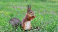Stock Video Footage of Squirrel eats sunflower seeds on the ground. Then he runs away