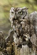 western screech owl - stock photo