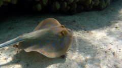 Blue Spotted lagoon stingray Stock Footage