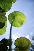 nelumbo lotus leaf - stock photo
