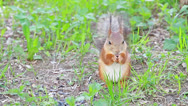 Stock Video Footage of Squirrel eats sunflower seeds on the ground