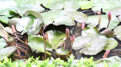 Young lotus in garden pool Stock Footage