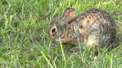 Cottontail cleans behind his ear Stock Footage