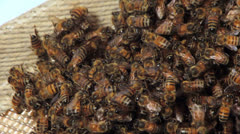 Honey bees constructing a hive. Stock Footage