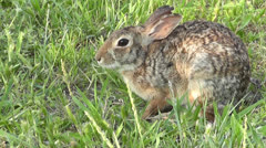 Cottontail Rabbit Scratches. Stock Footage