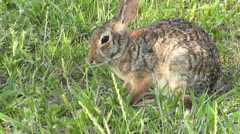 A cottontail rabbit grooms its face and ears Stock Footage