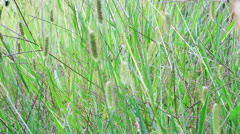 fresh grass swaying in the wind - stock footage