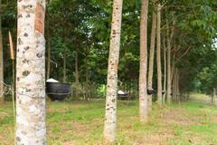 Tapping latex from rubber tree plantation Stock Photos