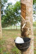 Tapping latex from rubber tree Stock Photos