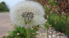 Dandelion flower head Stock Footage