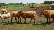 Stock Video Footage of Calves at field