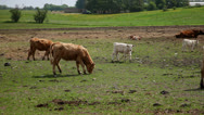 Stock Video Footage of Cows in summer