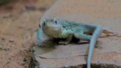 Collared Lizard Running Away HD Stock Footage