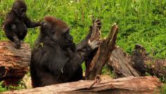 Mother & Baby Gorilla Playing Together HD Stock Footage