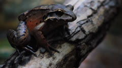Mountain Chicken Frog - Close Up HD Stock Footage