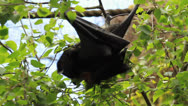 Stock Video Footage of Fruit Bat Eating in Tree - Close Up 2 HD