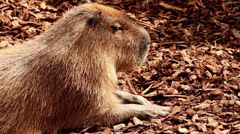 Capybara Relaxing in the Sun - Close Up HD Stock Footage