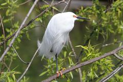 snowy egret (egretta thula) - stock photo