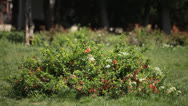 Stock Video Footage of Roses Bush