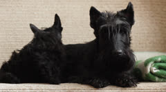 Two Scottish Terrier Stock Footage