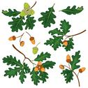 Oak branches with leaves and acorns Stock Illustration