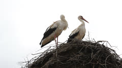 Two restless storks in the nest Stock Footage