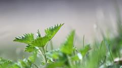 Fresh green nettle in spring wind breeze Stock Footage